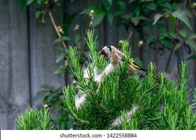 Animal behavior as a goldfinch (carduelis carduelis) wild bird collects ginger cat fur from rosemary bush for nest building