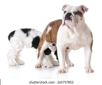 animal behavior - one dog sniffing another dogs backside