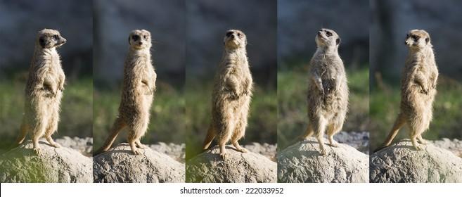 Animal behaviour: watchful Meerkat.