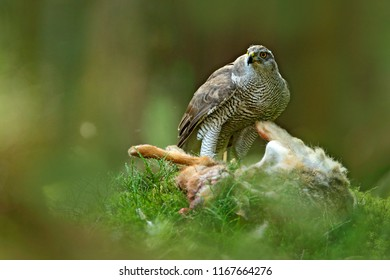 Animal behaviour, wildlife scene from nature. Goshawk in the green vegetation.Goshawk, Accipiter gentilis, feeding on killed hare in the forest. Bird of Prey with fur catch in the habitat.