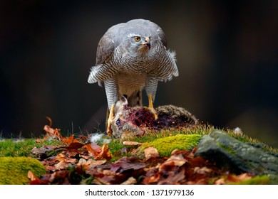 Animal behaviour, wildlife scene from nature. Goshawk in the orange vegetation.Goshawk, Accipiter gentilis, feeding on killed hare in the forest. Bird in autumn forest.