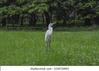 animal, bird with white color, egret, pelicans on the lawn