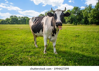 Animal. black and white cow puppies on the field in a talking tongue. Funny animals. Pets. Cattle grazing. The farm.