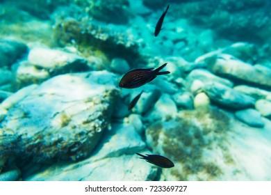 Animal in blue sea. Beautiful black fish in underwater.