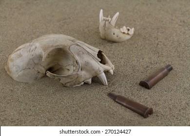 Animal bobcat ( lynx ) skull bones and old bullet casings are half-buried in sand of desert.