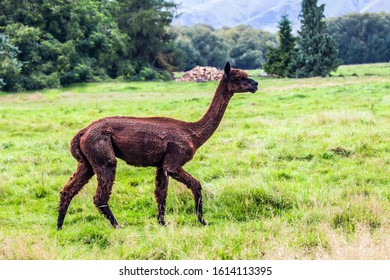 Animal breeding farm for meat and wool. Charming brown llama after a haircut pasting on green grass. The concept of exotic, ecological and photo tourism