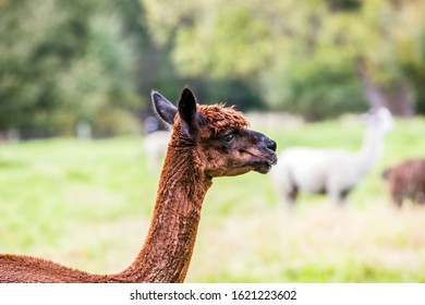 Animal breeding farm for meat and wool. Portret. Charming brown llama after a haircut pasting on green grass. The concept of exotic, ecological and photo tourism