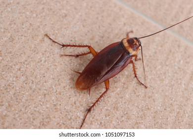 animal Brown cockroach