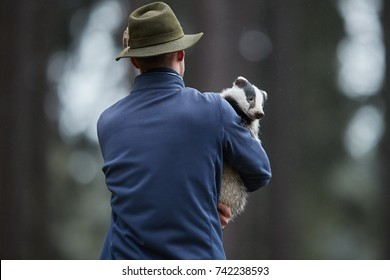 Animal care specialist carrying orphaned european badger,  Meles meles in his arms, rear view. Powerful animal in sanctuary. Man carries forest animal.  Animal Rescue Service shelter assistance.
