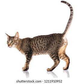 Animal, cat, pet concept - Serengeti cat on a white background