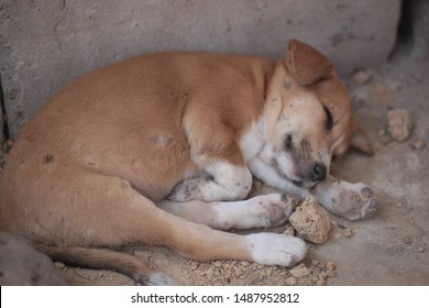 animal closeup photography: horizontal photo of a brown and white dog puppy with maggot scars on his belly, sleeping outdoors on a sunny summer day in the Gambia, Africa