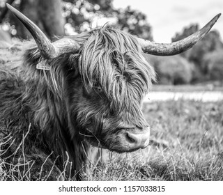 Animal cow - Holland Yak. Black-white photo.
