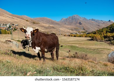 An animal cow at liberty in its natural environment, moulin en queyras, France
