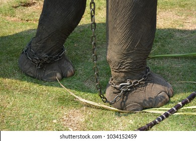 Animal cruelty concept : chained and abused elephant used for tourist elephant ride in Thailand.
