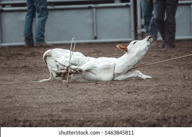 Animal cruelty during western rodeo: sweet little white calf tied up and dragged around during roping competition