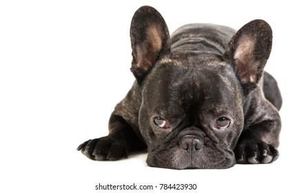 animal dog French bulldog lying on white isolated background
