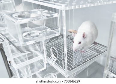 Animal experiments for urine collection using white rats in laboratory metabolic cages
