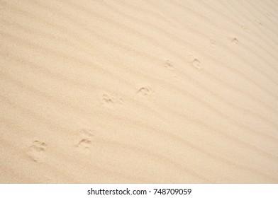 Animal footprint on sand in desert background
