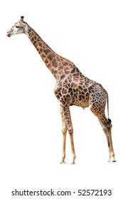 animal giraffe
