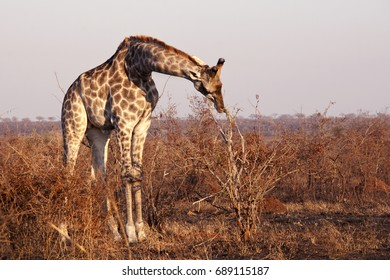 An animal is a giraffe in the wild. Eats leaves from trees. The landscape of South Africa. Winter in Africa.