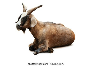 animal of goat sitting isolate is on white background with clipping path