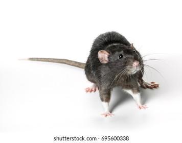 Animal gray rat close-up on white background