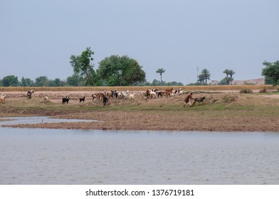 Animal are grazing on the bank of the river