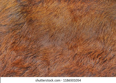Animal hair of fur cow leather texture background.Natural Fluffy brown cowhide skin.