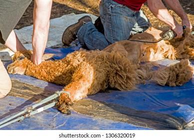 Animal handlers shear a herd of Alpacas in the springtime.
