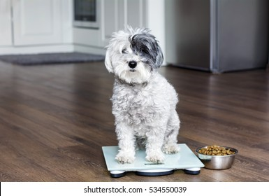 animal health - cute poodle dog  on weigh scales