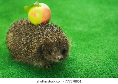 animal hedgehog with green apple walks on the grass. funny concept idea