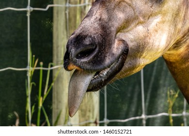 Animals Long Tongues Images, Stock Photos & Vectors | Shutterstock