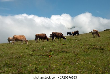 Animal husbandry and cattle in highlands