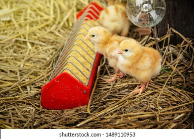 Animal husbandry or livestock for agriculture. Newborn orange yellow cute little chicks eating food in the tray on straw with the farm background.