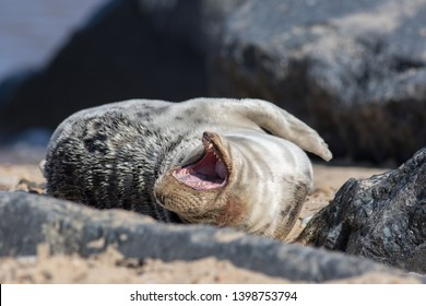 Animal laughing out loud. Funny animal laugh meme image. Seal rolling on the floor laughing. Humorous seal having fun on the beach.