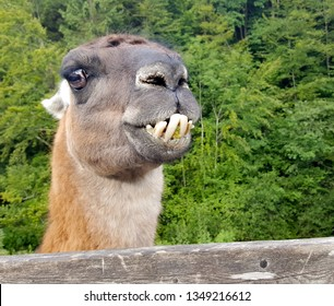 The animal Llama (Lama glama) is a type of camel andin Europe is often kept on farms and zoos. they can spit meters far