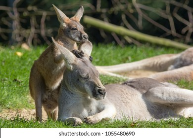 Animal love and affection. Cute joey  image. Baby kangaroo holding on to its mothers ear for comfort and feeling safe. Australian marsupial wildlife mother and child. Family security.