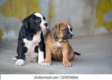 animal love american bully puppy