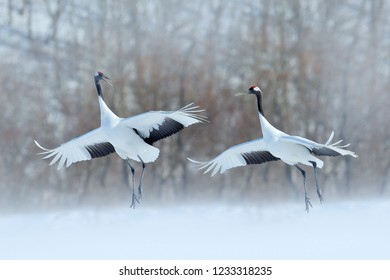 Animal love mating behaviour, bird dance. Dancing pair of Red-crowned crane with open wings, winter Hokkaido, Japan. Snowy dance in nature. Courtship of beautiful large white birds in snow.