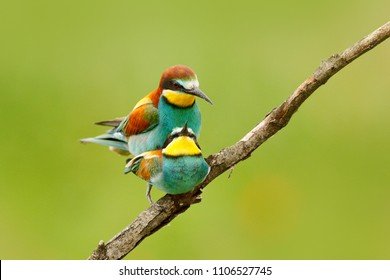 Image of: Iphone Animal Love Pair European Beeeaters Mating On The Branch With Clear Green And Shutterstock Animal Sex