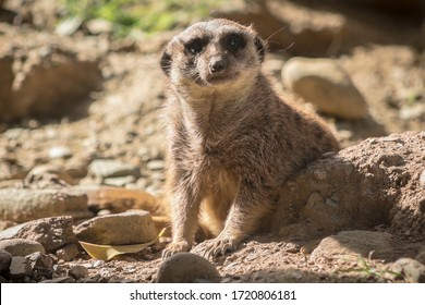 Animal Meerkat staring at the camera in a landscape