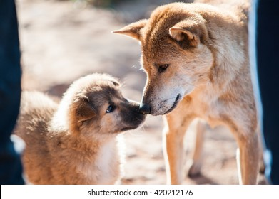 Animal : A mixed Shepherd breed dog mother and her puppy touching noses. relationship between mother and child take a look to each other. blurred image of moment in natural light