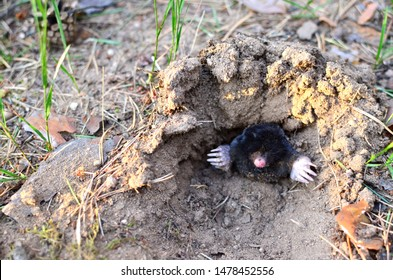 Animal Mole crawling out of molehill above ground, showing strong front feet used for digging runs underground. Mole trapping - youngs pest control. Underground creatures damage lawn.