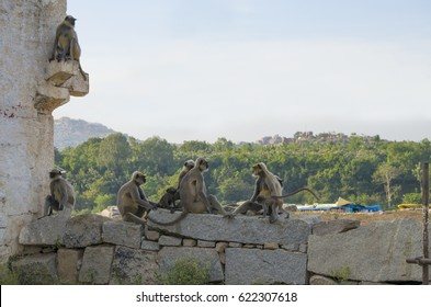 Animal a monkey in India South flat Langur in the ancient city of Hapmi in India