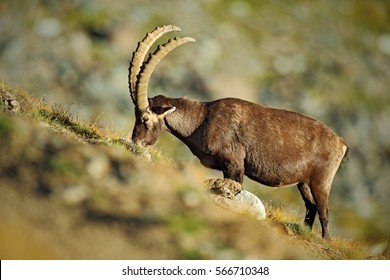 Animal from mountain. Alpine Ibex, Capra ibex with long horns with rocks in the background, National Park Gran Paradiso, Italy. Wildlife animal scene from nature.