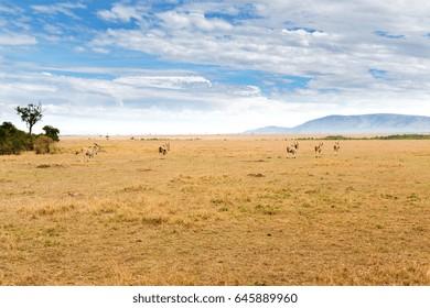 animal, nature and wildlife concept - eland antelopes herd grazing in maasai mara national reserve savannah at africa