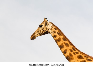 animal, nature and wildlife concept - giraffe in africa