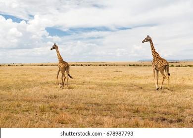 animal, nature and wildlife concept - giraffes in maasai mara national reserve savannah at africa