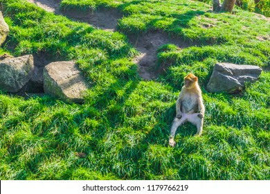 animal nudism small brown orange monkey sitting down naked on a green grass hill