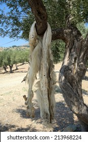 Animal pelt hanging on the tree to dry. Samothrace island. North Greece